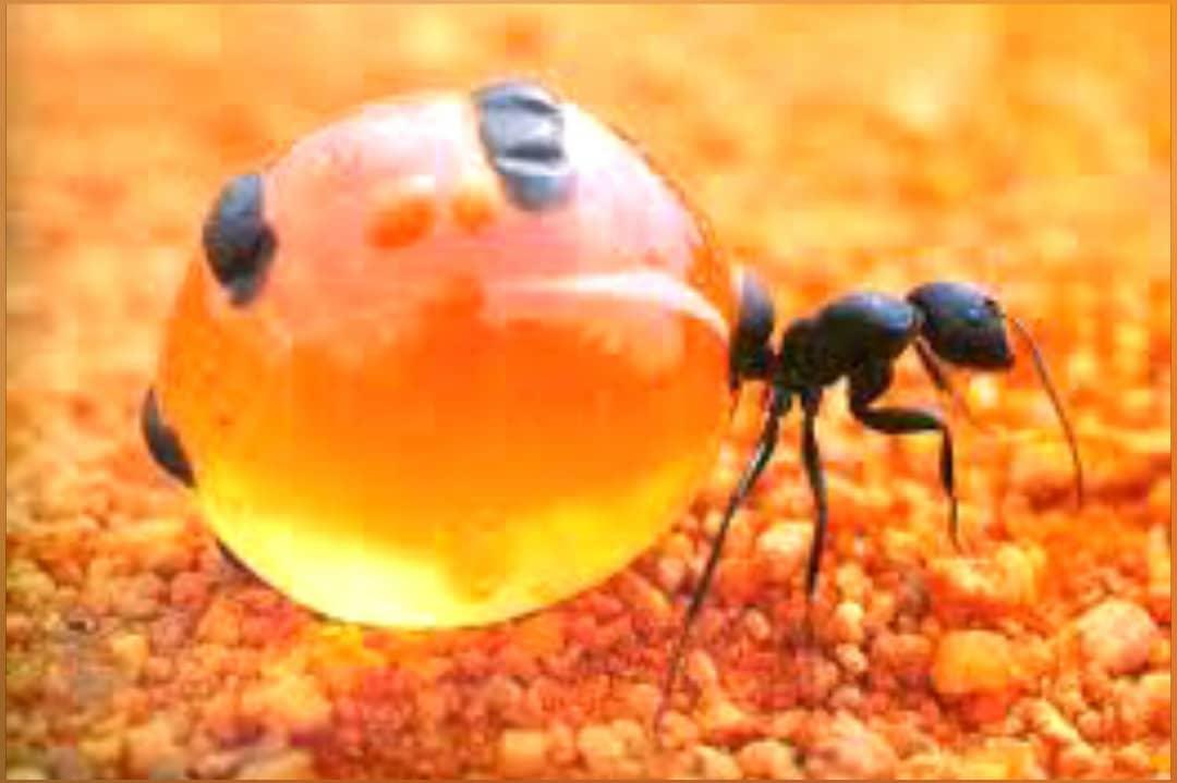 مورچه های عسل ساز!
