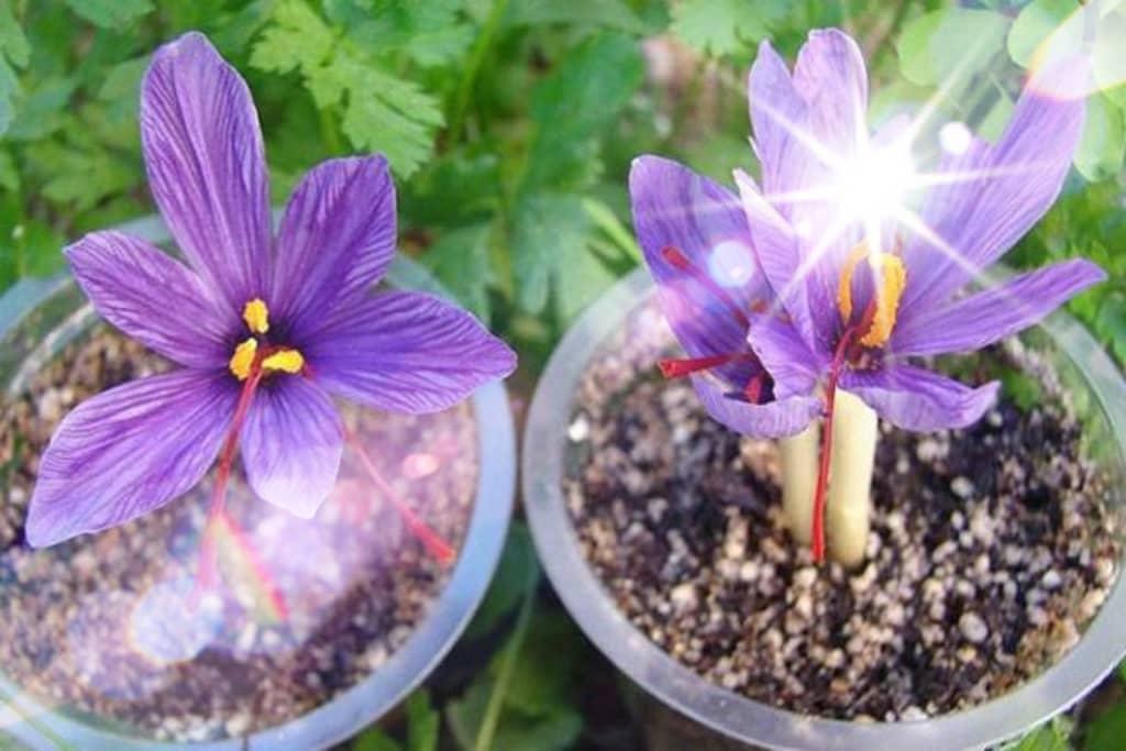 مراحل کاشت زعفران در گلدان