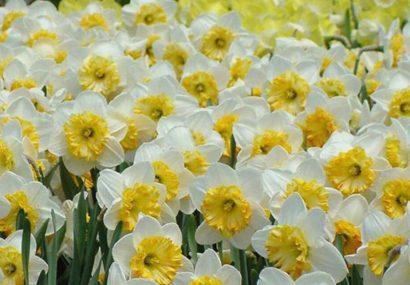 روش های نگهداری و کاشت گل نرگس، عروس زمستان!