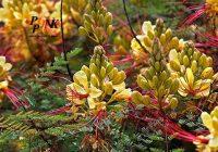 معرفی درخت ازگیل ژاپنی، ابریشم ایرانی و مصری
